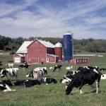 Cows in a farm field