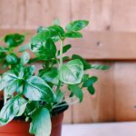 Basil plant in a container.
