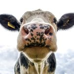 Close-up of a cow's face.